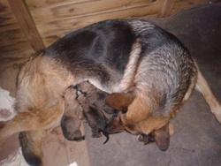 Douschka, chien Berger allemand