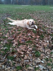 Doushka, chien Labrador Retriever