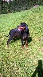 Douska , chien Setter Gordon