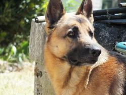 Dowby, chien Berger allemand