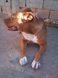 Doza, chien Bullmastiff