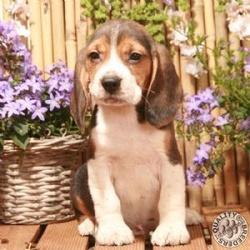 Dozer, chien Beagle