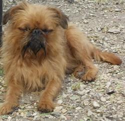 Draco Du Clan Des Petits Grimlyn'S, chien Griffon bruxellois