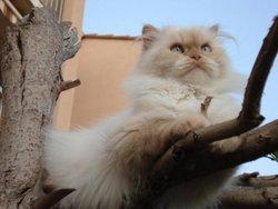 Dracuchat, chat Persan