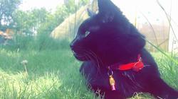 Dracula, chat Gouttière