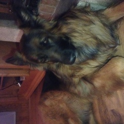 Draggo, chien Berger allemand