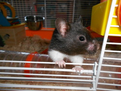 Dragibus, rongeur Hamster