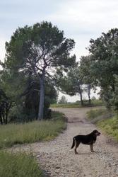 Drago, chien Chien de montagne portugais