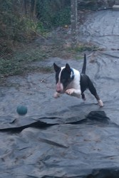 Dragon, chien Bull Terrier