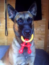 Drako, chien Berger belge