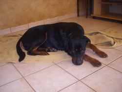 Drako, chien