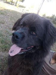 Drako, chien Terre-Neuve