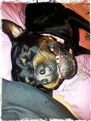Drakus, chien Rottweiler