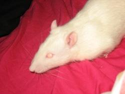 Dreams Rip, rongeur Rat