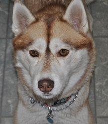 Dreska, chien Husky sibérien