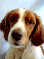 Drez, chien Épagneul breton