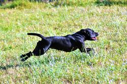Drift, chien Staffordshire Bull Terrier