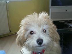 Drixy, chien Bichon à poil frisé