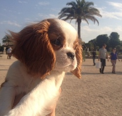 Drizzle, chien Cavalier King Charles Spaniel