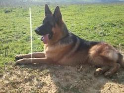 Drogba Poutchi, chien Berger allemand