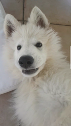 Drook, chiot Berger blanc suisse