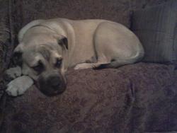 Droopy, chien Bullmastiff