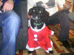 Droopy, chien Labrador Retriever