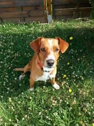 Droopy, chien Chien courant de Posavatz