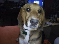 Droopy, chien Beagle