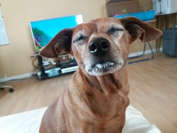 Droopy, chien Pinscher