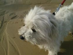 Droupy, chien Bichon maltais