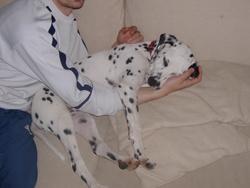 Dryx, chien Dalmatien