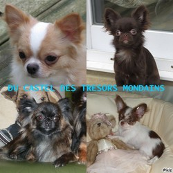 Du Castel Des Trésors Mondains, chien Chihuahua