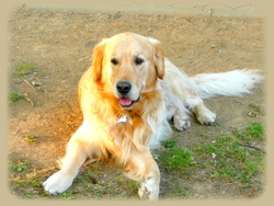 Dubai, chien Golden Retriever