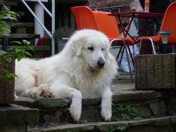 Duc, chien Chien de montagne des Pyrénées