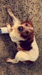Duc, chien Épagneul breton