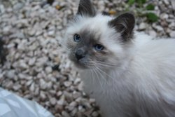 Duchesse, chat Birman