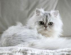 Duchesse, chat
