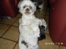 Duchesse, chien Shih Tzu