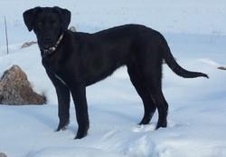 Duchesse, chien Labrador Retriever