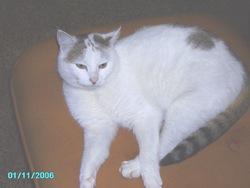 Duchesse, chat Européen