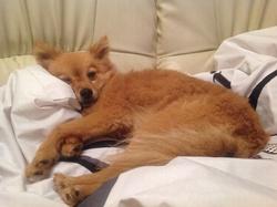 Duchesse, chien Spitz allemand