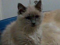 Duchesse, chat Birman