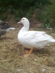 Ducky Canard, autres