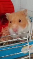 Dudulle, rongeur Hamster