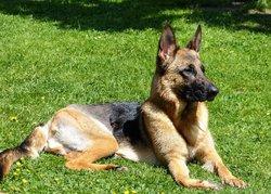 Duke, chien Berger allemand