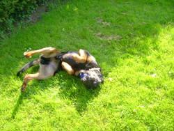 Duke, chien Beauceron