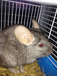 Dumbo, rongeur Chinchilla