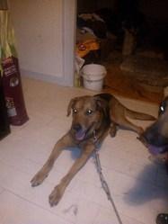 Dumbo, chien Berger allemand