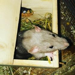 Dumbo, rongeur Rat